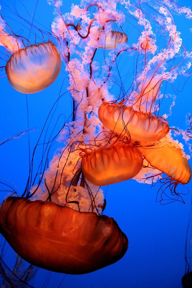 Pacific Sea Nettle  by Micci Shannon