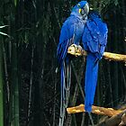Blue macaws by Asiantiger247