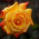 Regentropfen auf Rose von BlueMoonRose
