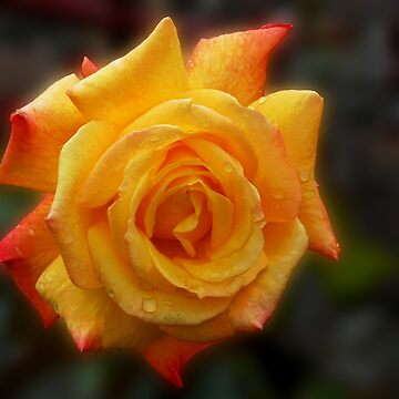 Raindrops on Rose by BlueMoonRose