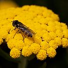Hoverfly by SusanAdey