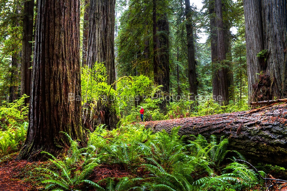 The Size of Man. Giant Redwoods national Park. California. USA. by PhotosEcosse
