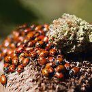 ladybug mating by DevilsLettucePh