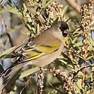 Lawrence's Goldfinch Male by tomryan