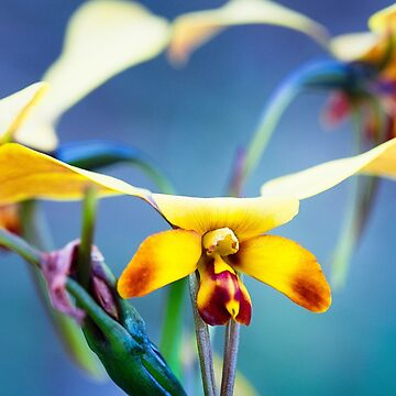 Yellow Granite Donkey Orchid by AmyesPhotograph