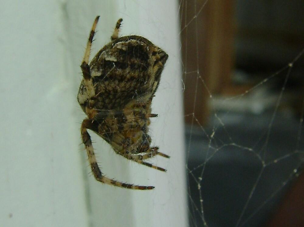 Garden spider, Araneus diadematus (macro) by armadillozenith