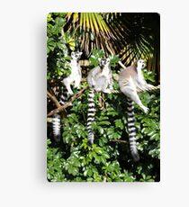 Lemuren !! Leinwanddruck