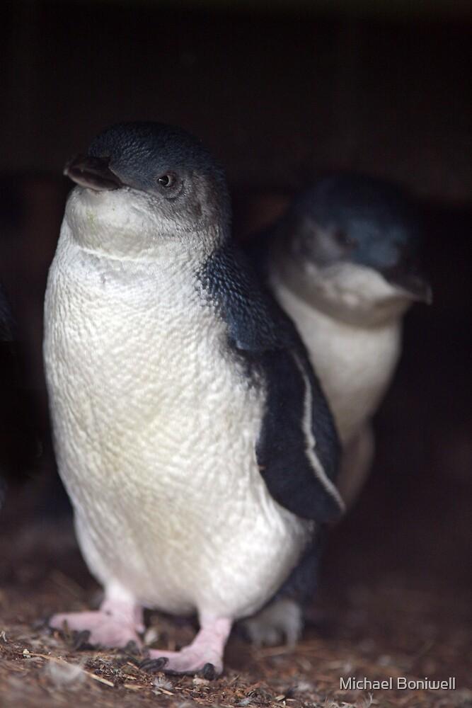 Australian Baby Penguin, Philip Island, Australia by Michael Boniwell