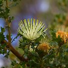 Parrot Bush (Banksia Sessilis) by Elaine Teague