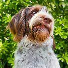 Brown Roan Italian Spinone Dog Head Shot - Robyn by heidiannemorris