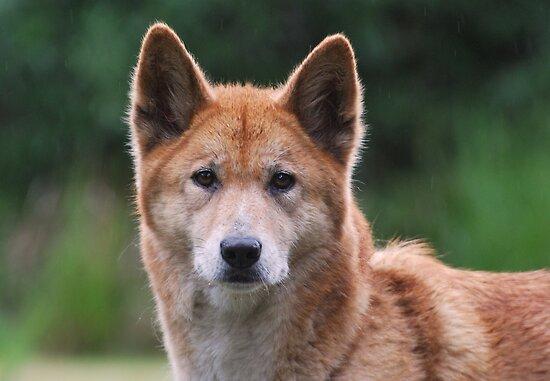 Dingo by DanielTMiller