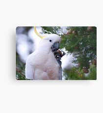 Another Sulphur Crested Cockatoo Metal Print