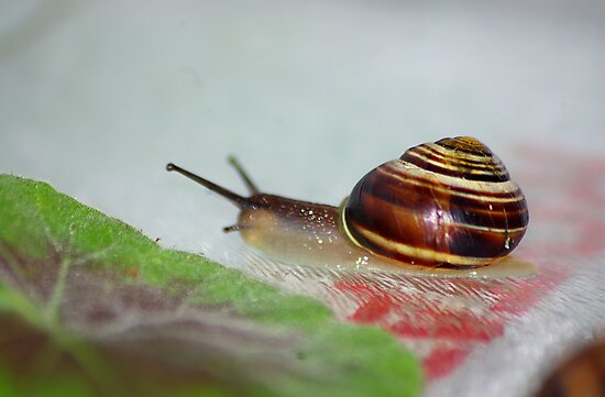 Slow Snail by Trevor Kersley