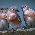 Bluebird Trio by Bonnie T.  Barry
