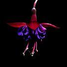 Fuschia in the Dark by Ann Garrett