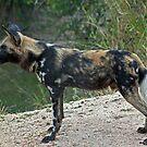 African wild dog by Anthony Goldman