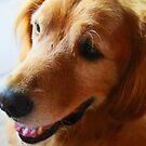golden retriver hipnotized dog by momarch
