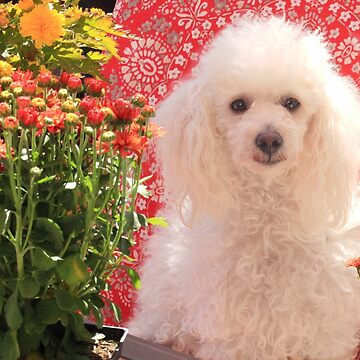 Toy Poodle dog in garden by ritmoboxers