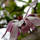 Magnificent Magnolia by Evita
