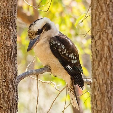 Laughing Kookaburra by AmyesPhotograph