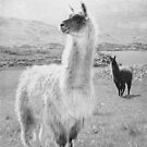An elegant llama by Agnes McGuinness