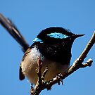Superb Fairy Wren by Bev Pascoe