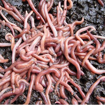 WoRMS by grubsludge
