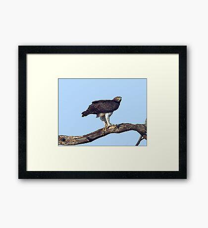 Martial Eagle Framed Print