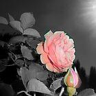 pink rose, grey 09/20/18 by Shellaqua