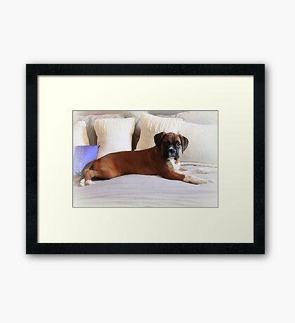 Nicht mein Bett ... sagst du? - Boxer Dogs Series Gerahmter Kunstdruck