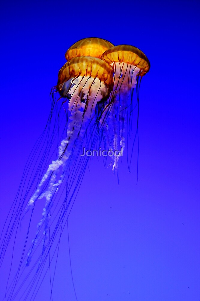 Trio of Jellyfish in a Tank by Jonicool