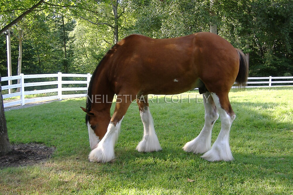 ANHEUSER BUSCH  CLYDESDALE  by NEIL STUART COFFEY