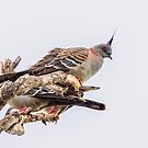 Crested Pigeon by Paul Amyes