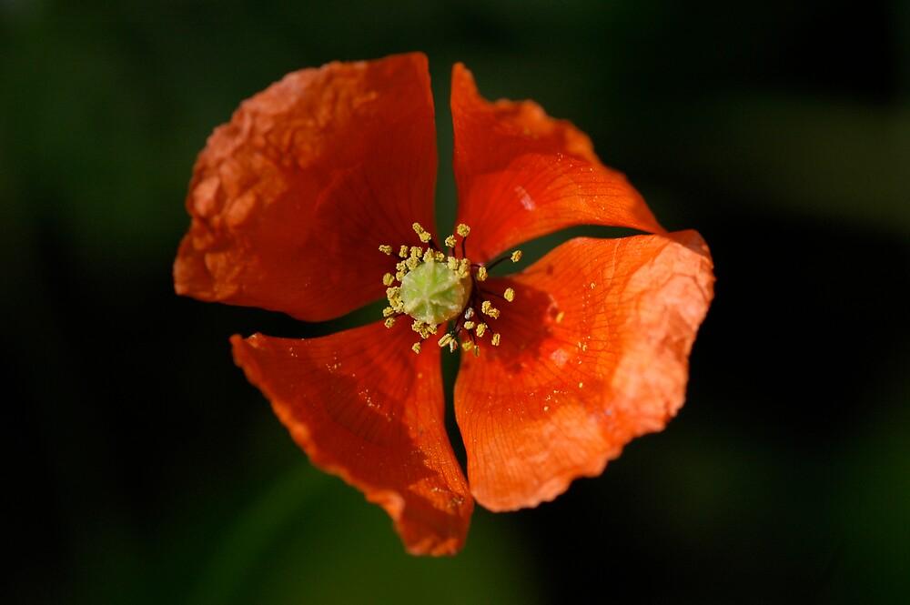 Poppy by LOJOHA