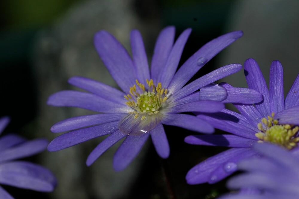 Anemone blanda by LOJOHA