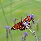 Gulf Fritillary on Lavender by Gretchen Dunham