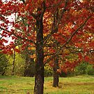 Fall Maples by Kimberly Adams