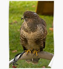 Common Buzzard Poster