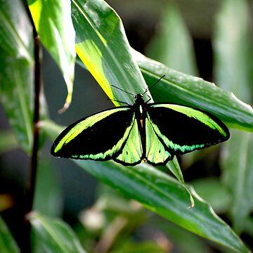 Cairns Birdwing by GP1746