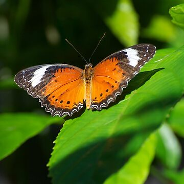 Orange Lacewing Butterfly by GP1746