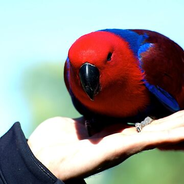 Eclectus Parrot - female by GP1746
