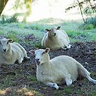 Ewes enjoying the shade........Cricket St Thomas. Somerset UK by lynn carter