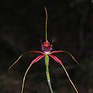 Caladenia arenicola by Colin12
