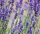 Lavender Patch by Kristina K