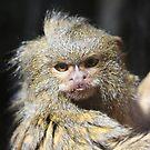 Pygmy Marmoset by Linda Sass