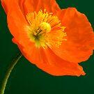 happy poppy #2 by picketty