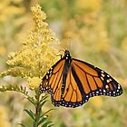 Monarch butterfly on goldenrod by distracted