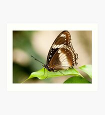 Common Eggfly Butterfly Art Print