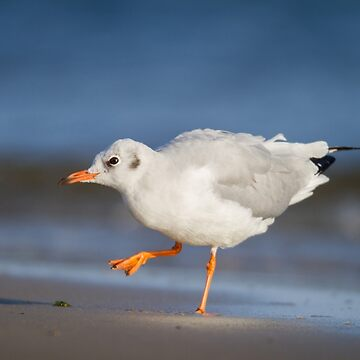 Black-Headed Gull by domcia