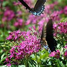 Swallowtails Playing by Colleen Drew